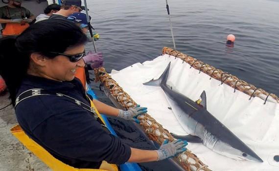 Bióloga chilena le puso rastreadores satelitales a 65 tiburones