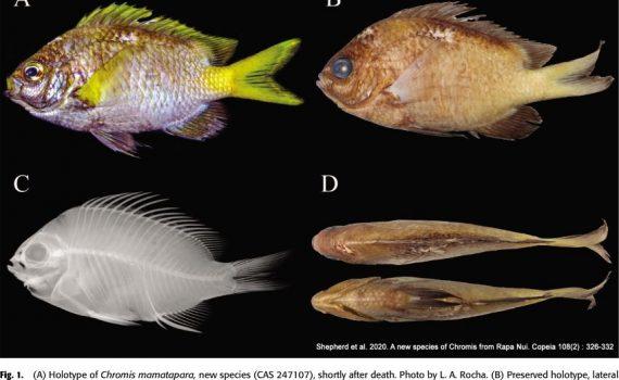 Equipo ESMOI-UCN participa en hallazgo de nueva especie de pez en Rapa Nui