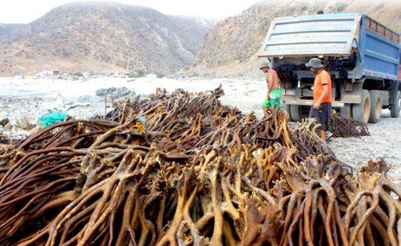 Chile: la cadena de infracciones detrás de la pesca ilegal de algas