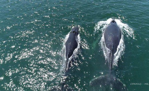 Expertos UCN proponen medidas para evitar colisiones de ballenas contra navíos en Mejillones